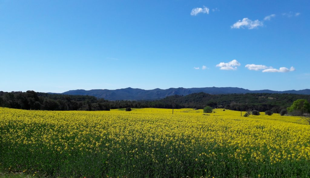 Le jaune fleurit à travers champs